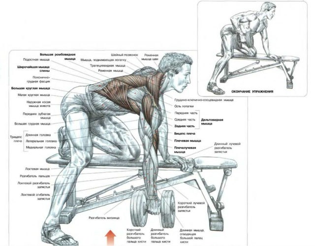Тяга гантели к поясу в наклоне для развития мышц спины