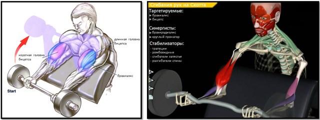 Сгибание рук на скамье Скотта – эффективная изоляция бицепса