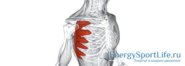 Передняя зубчатая мышца: анатомия, функции и лучшие упражнения