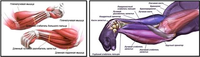 Клювовидно-плечевая мышца: функции и топ 7 лучших упражнений