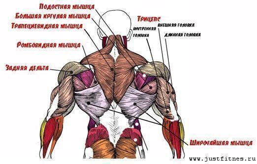 Мышцы спины: анатомия, строение глубоких и поверхностных мышц схема-картинка, функции