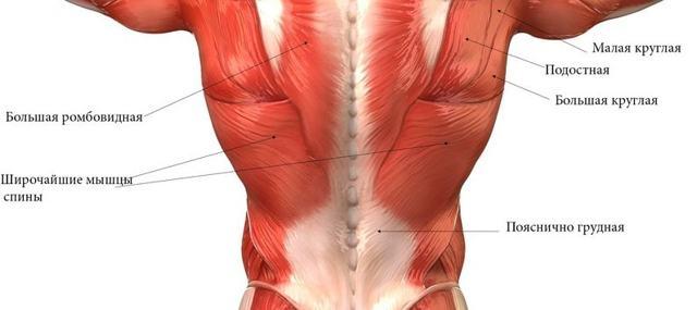 Мышцы груди: строение, анатомия и основные функции мышечной группы
