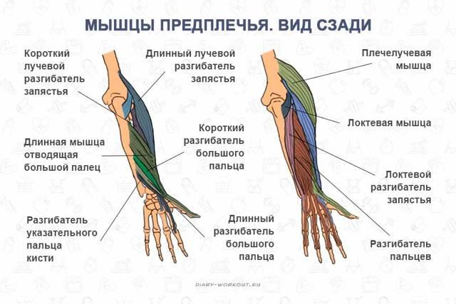 Бицепс руки: анатомия, строение и функции двуглавой мышцы плеча