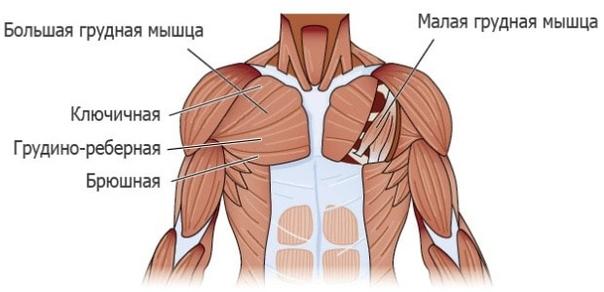 Мышцы человека – анатомия, функции и строение в картинках