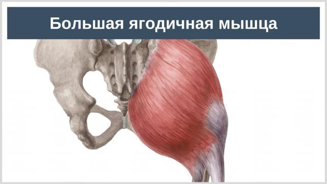Приводящие мышцы бедра: большая, длинная и малая, анатомия, функции и топ упражнений для аддукторов
