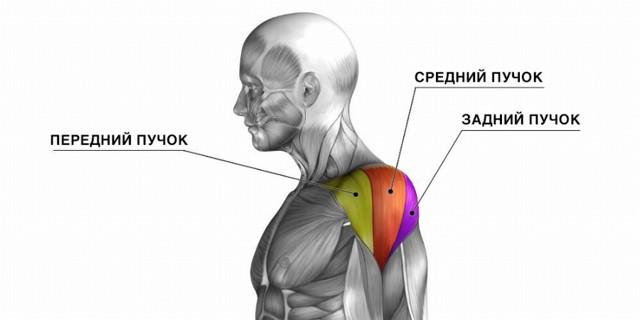 Разведение гантелей в наклоне – лучшее упражнение для задней дельты