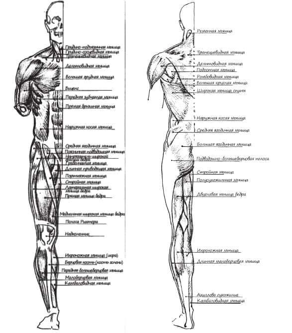 Мышцы рук человека: анатомия, строение, названия и схема-рисунок