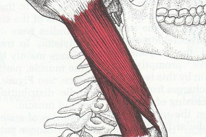 Мышцы шеи: грудино-ключично-сосцевидная мышца и другие, лучшие упражнения для укрепления