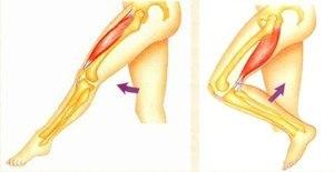 Мышцы агонисты, антагонисты и синергисты – анатомия и примеры